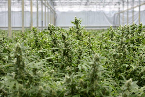 Illegal cannabis cultivation in the Netherlands